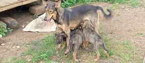 1-3 Month Male Purebred German Shepherd | Dogs & Puppies for sale in Central Region, Assin North Municipal
