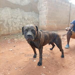 1+ Year Male Purebred Boerboel | Dogs & Puppies for sale in Greater Accra, Oyarifa