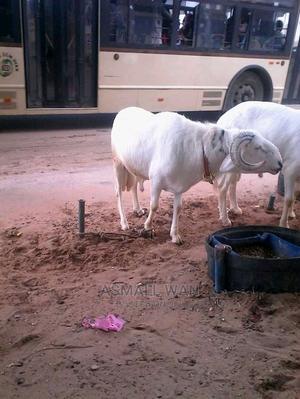 Sheep for Sale   Livestock & Poultry for sale in Northern Region, Karaga