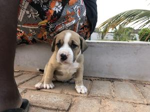 1-3 Month Male Purebred Bulldog | Dogs & Puppies for sale in Greater Accra, Weija