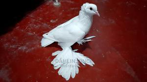 Indian Loton Pigeons | Birds for sale in Greater Accra, Spintex