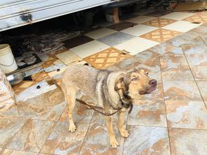 1+ Year Female Purebred German Shepherd | Dogs & Puppies for sale in Ashanti, Atwima Kwanwoma