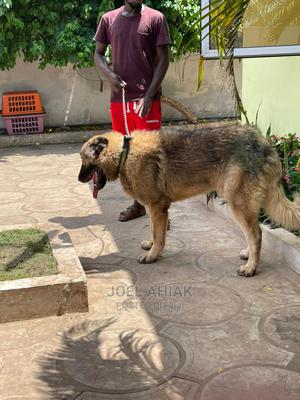 1+ Year Male Purebred Caucasian Shepherd | Dogs & Puppies for sale in Greater Accra, East Legon