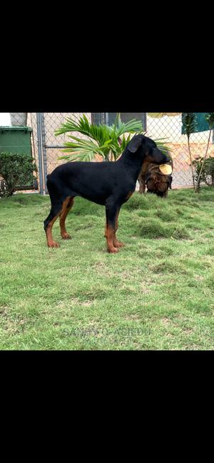 3-6 Month Female Purebred Doberman Pinscher | Dogs & Puppies for sale in Greater Accra, Achimota