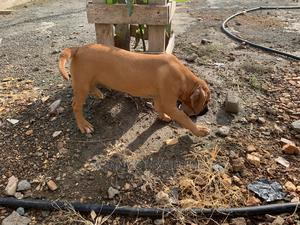 1-3 Month Female Mixed Breed Boerboel | Dogs & Puppies for sale in Greater Accra, Tema Metropolitan