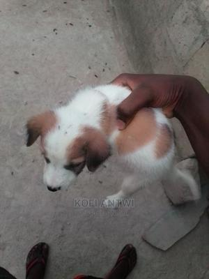 1-3 Month Male Mixed Breed Poodle | Dogs & Puppies for sale in Ashanti, Kwabre