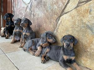 1-3 Month Male Purebred Doberman Pinscher | Dogs & Puppies for sale in Greater Accra, Madina