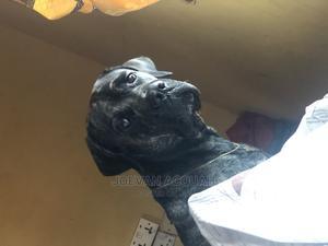 1+ Year Male Purebred Bullmastiff | Dogs & Puppies for sale in Ashanti, Kumasi Metropolitan