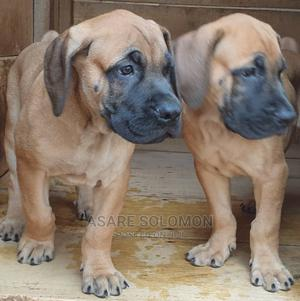 1-3 Month Female Purebred Boerboel | Dogs & Puppies for sale in Greater Accra, Adenta