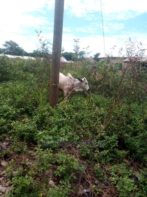 Cow Is Available for Cool Prize   Livestock & Poultry for sale in Northern Region, Kpandai
