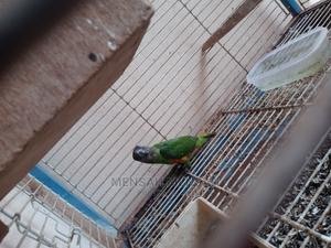 Senegalese Parrot | Birds for sale in Greater Accra, Ashaley Botwe