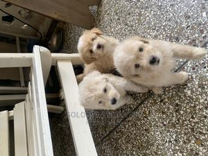 1-3 Month Female Purebred Poodle | Dogs & Puppies for sale in Greater Accra, Achimota