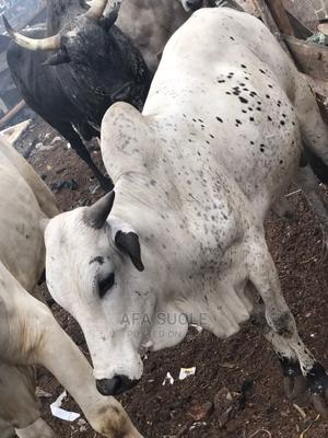 Cow and Goat Cool Price   Livestock & Poultry for sale in Northern Region, Savelugu-Nanton