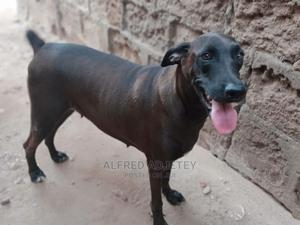 1+ Year Female Mixed Breed Doberman Pinscher | Dogs & Puppies for sale in Greater Accra, Tema Metropolitan
