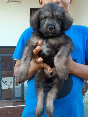 0-1 Month Male Mixed Breed Shih Tzu | Dogs & Puppies for sale in Greater Accra, Adenta
