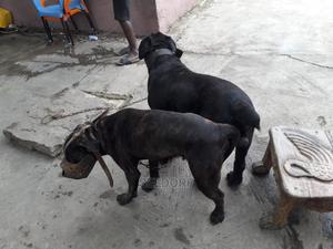 0-1 Month Female Purebred Boerboel | Dogs & Puppies for sale in Ashanti, Kumasi Metropolitan