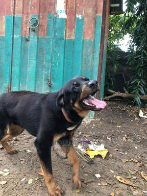 6-12 Month Male Purebred Rottweiler | Dogs & Puppies for sale in Greater Accra, Ashomang Estate