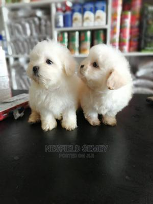 1-3 Month Male Purebred Poodle | Dogs & Puppies for sale in Greater Accra, Accra Metropolitan
