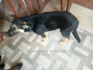 3-6 Month Male Purebred German Shepherd | Dogs & Puppies for sale in Greater Accra, Teshie