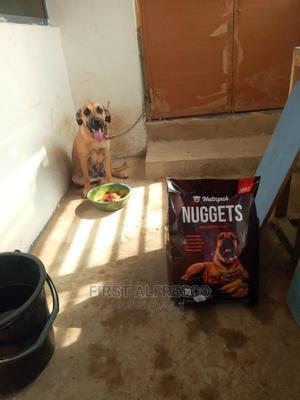 6-12 Month Female Purebred Boerboel | Dogs & Puppies for sale in Western Region, Ahanta West