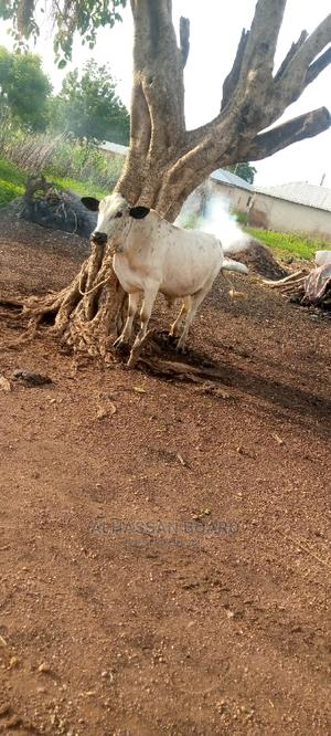 Cow for Sale   Livestock & Poultry for sale in Northern Region, Saboba