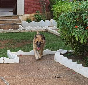1-3 Month Male Purebred German Shepherd | Dogs & Puppies for sale in Ashanti, Kumasi Metropolitan