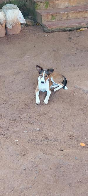 3-6 Month Male Purebred Mongrel (No Breed) | Dogs & Puppies for sale in Greater Accra, Dansoman