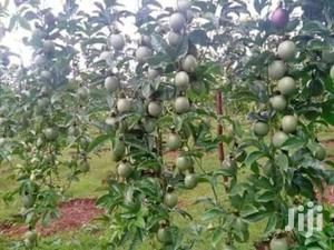 Passion Fruit Seedlings For Sale   Feeds, Supplements & Seeds for sale in Ashanti, Ahafo Ano South