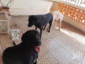 Adult Male Purebred Labrador Retriever   Dogs & Puppies for sale in Greater Accra, Accra Metropolitan