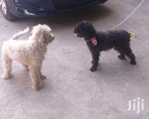 1+ Year Male Purebred Poodle | Dogs & Puppies for sale in Greater Accra, Mataheko