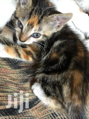 Baby Female Mixed Breed American Shorthair   Cats & Kittens for sale in Greater Accra, Madina