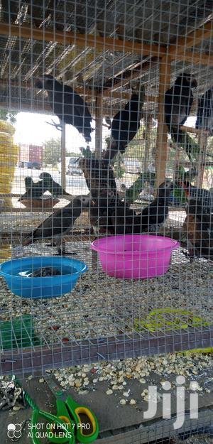 Timneh Grey Parrot (Wholesale)   Birds for sale in Greater Accra, Tema Metropolitan