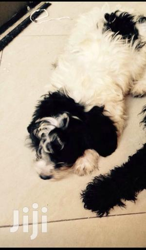 1+ Year Male Purebred Poodle | Dogs & Puppies for sale in Greater Accra, Labadi