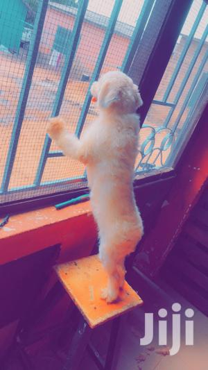 Miniature White Male Poodle for Crossing | Pet Services for sale in Greater Accra, Teshie