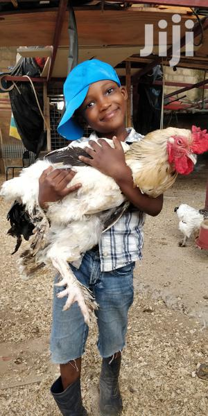 Hatchery For All | Livestock & Poultry for sale in Greater Accra, Ga West Municipal