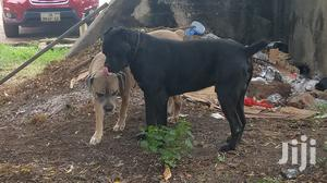 1+ Year Male Purebred Cane Corso | Dogs & Puppies for sale in Greater Accra, Ridge