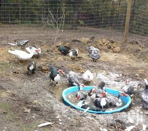 Ducks Mallards Pekins   Livestock & Poultry for sale in Western Region, Shama Ahanta East Metropolitan