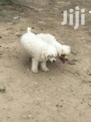 1+ year Male Purebred Maltese | Dogs & Puppies for sale in Teshie, New Town