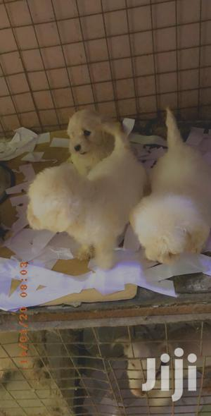 0-1 Month Female Purebred Poodle | Dogs & Puppies for sale in Greater Accra, Labadi