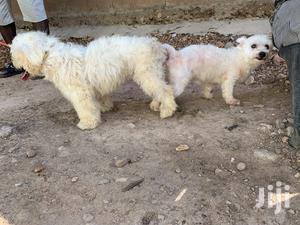Stud Services For Maltese Male#1 | Pet Services for sale in Nungua, Teshie-Nungua Estates