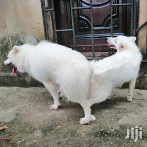 American Eskimo Mating #3-1 | Pet Services for sale in Nungua, Teshie-Nungua Estates