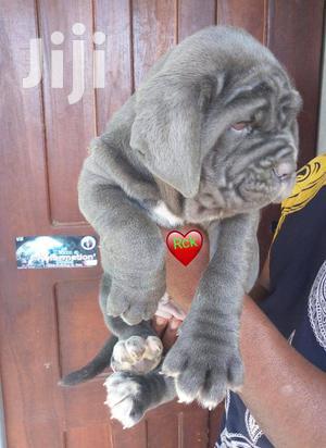 1-3 month Male Purebred Neapolitan Mastiff | Dogs & Puppies for sale in Greater Accra, Accra Metropolitan