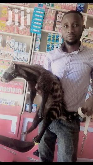 Tamed Civet Cat | Other Animals for sale in Ashanti, Mampong Municipal